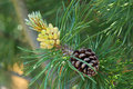 Pine cones on an evergreen branch Stock Image