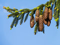 Pine cones from fir tree cone against clear blue sky Royalty Free Stock Image