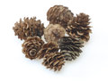 Pine cones of larches Royalty Free Stock Photo