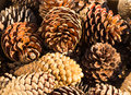 Pine cones nice dry some open up Royalty Free Stock Images
