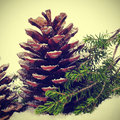 Pine cones on the snow Royalty Free Stock Photos