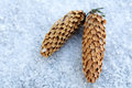 Pine cones in the snow frozen cold Stock Photos