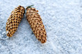 Pine cones in the snow frozen cold Stock Images