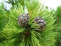 Pine cones . Royalty Free Stock Photo