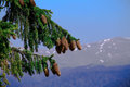 Pine cones on top of a mountaine tree Stock Images