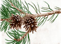 Pine cones on tree branch