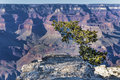Pine on the edge of the Grand Canyon Royalty Free Stock Images