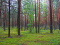 Pine forest. Royalty Free Stock Image