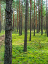 Pine forest. Stock Photography