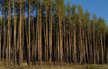 Pine forest. Royalty Free Stock Photos