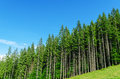 Pine forest Royalty Free Stock Photo