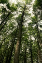 A pine forest Royalty Free Stock Images