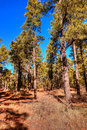 Pine forest an arizona in winter mountains Royalty Free Stock Photo