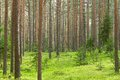 Pine forest background Royalty Free Stock Images