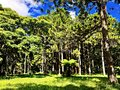 Pine forest in the botanical garden, Mauritius Island