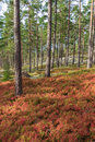 Pine forest with blueberry bushes Royalty Free Stock Photo