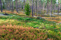 Pine forest with blueberry bushes in the autumn Stock Photo