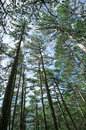 Pine forest convergent high straight pines against sky Stock Image