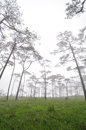 Pine forest cover with mist Royalty Free Stock Photo