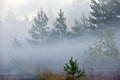 Pine forest in dense fog a view of a on a foggy drizzly evening Royalty Free Stock Photos