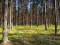 Pine forest in Estonia Royalty Free Stock Images