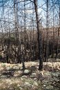 Pine forest after fire