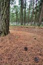 Pine Forest Floor Stock Image