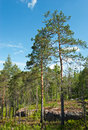 Pine forest in granite rock Royalty Free Stock Photo