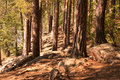 Pine forest landscape summer with footpath Royalty Free Stock Photo