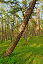 Scots or scotch pine Pinus sylvestris forest with a leaning tree on the foreground. Royalty Free Stock Photo