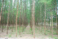 Pine Forest In Nature