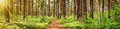 Pine forest panorama Royalty Free Stock Photo