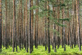 Pine Forest In Poland