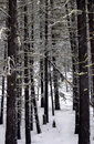 Pine Forest in the Snow Royalty Free Stock Photography