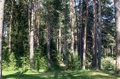 Pine forest in a summer afternoon. Royalty Free Stock Photo