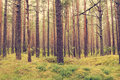 Pine forest at summer Royalty Free Stock Photo