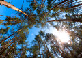 Pine forest sun perspective of trees trunks shot with wide angle fish eye lens with and blue sky as a background Stock Image