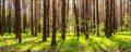 Pine forest with the sun shining through the trees Royalty Free Stock Photo