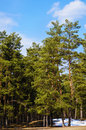 Pine forest in sunny spring day Royalty Free Stock Image