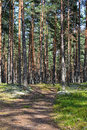 Pine forest in sunny summer day. Royalty Free Stock Photos