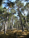 Pine forest in sunny weather crimea Royalty Free Stock Images