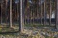 Pine forest in sunsets Royalty Free Stock Photo