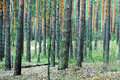 Pine forest trunks abstract nature eco background vertical pattern consisting of Stock Image