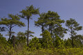 Pine forest under blue sky in thailand Stock Photos