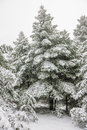 Pine forest under snow Royalty Free Stock Photography