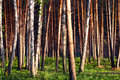Pine forest view Stock Images