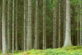 Pine forrest Royalty Free Stock Photo