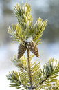 Pine in frost with two cones Royalty Free Stock Image