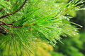 Pine getting wet in the rain it is fresh green of Stock Images