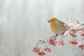 Pine grosbeak eating frozen rowan berries on a cloudy day Stock Photography